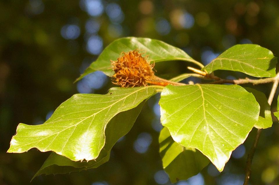 Bild: Buchenzweig mit Blättern und einer Buchecker