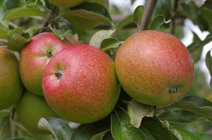 Bild: Äpfel