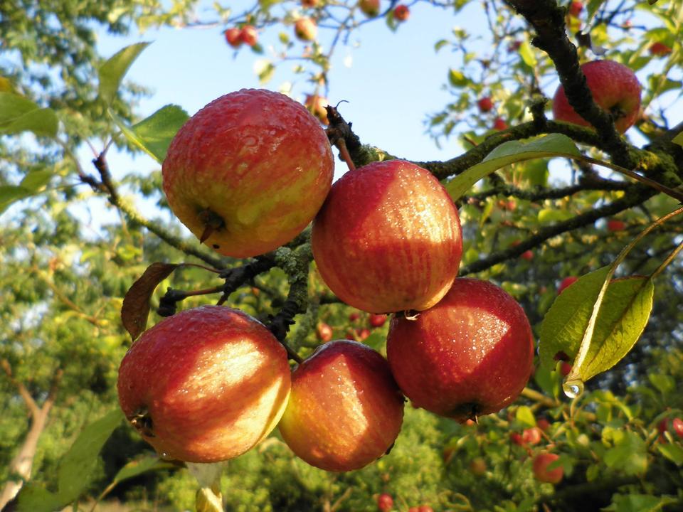 Bild: Äpfel auf der Streuobstwiese