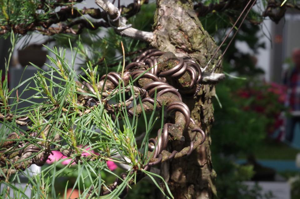 Bild: Bonsai mit Drähten fixiert.