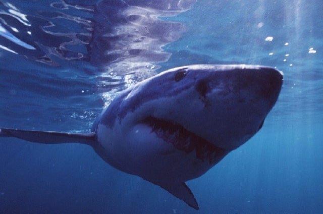 Bild: Vortrag: Der Hai - gejagter Jäger