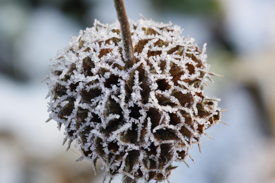 Bild: Brandkraut (Phlomis russeliana) Botanischer Sondergarten
