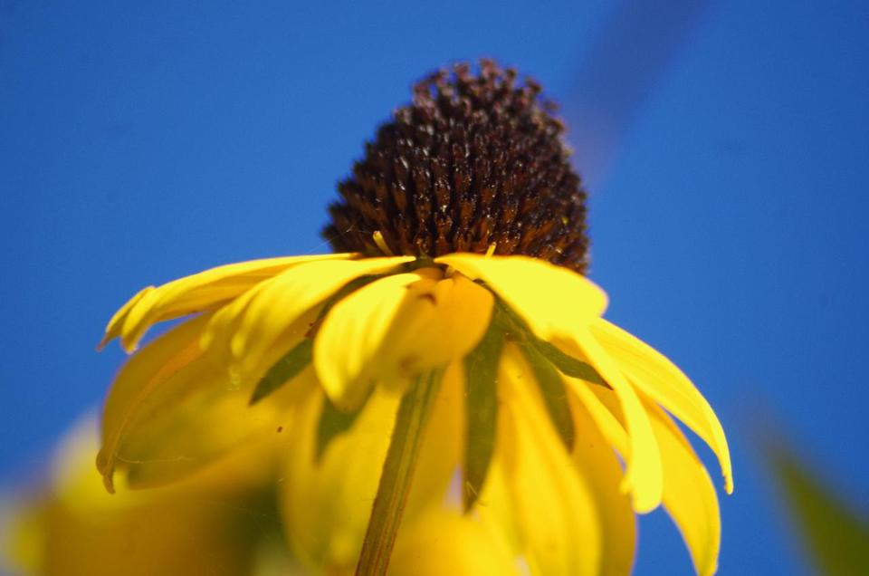 Bild: Blüte vom Sonnenhut