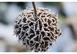 Brandkraut (Phlomis russeliana) Botanischer Sondergarten