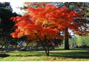 Fächerahorn mit Herbstfärbung