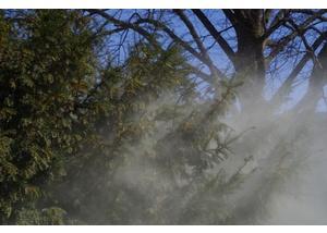 Pollenflug bei der Eibe