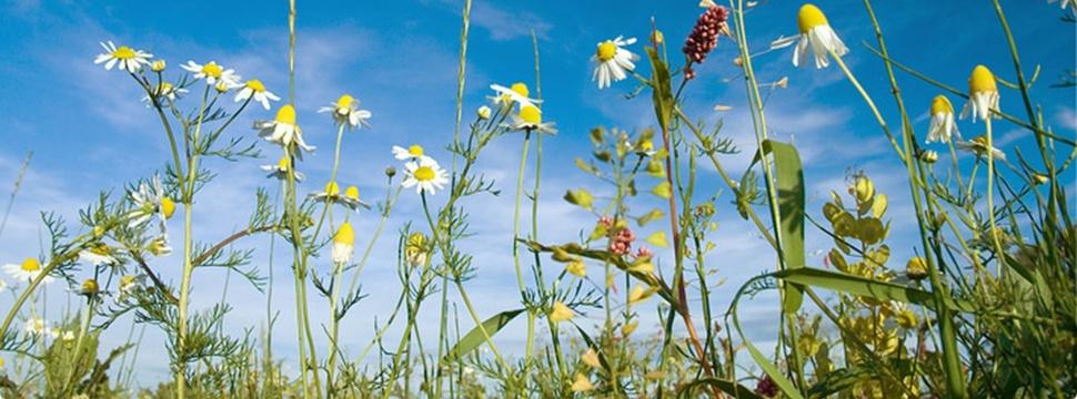 Blumenwiese, © Gärtnerei Sannmann