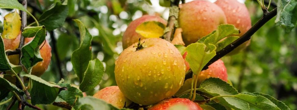 Apfelbaum, © pixabay.com/Michael Strobel