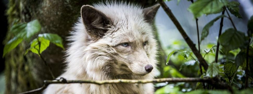 Wolf im Wald, © VIER PFOTEN Bogdan Baraghin