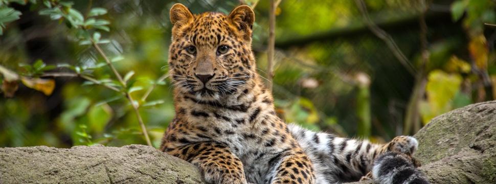 Nordchinesischer Leopard, © Hagenbeck