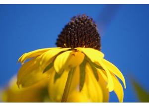 Blüte vom Sonnenhut